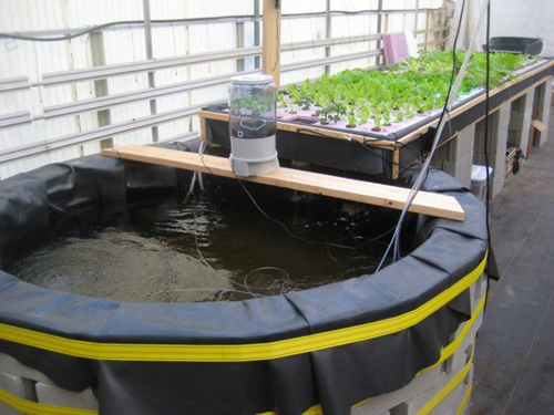 Aquaponics project hopes to bring fresh locally produced for Fish and plants in aquaponics